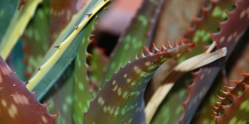 tratamientos naturales picaduras de insectos