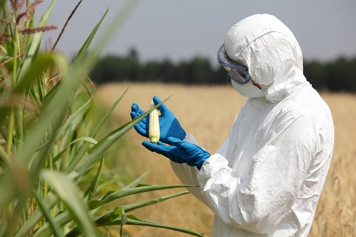 riscos i perills dels aliments i els cultius transgènics